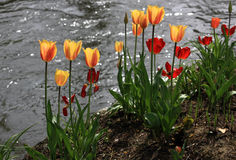 Tulips coloridos Fotos de Stock