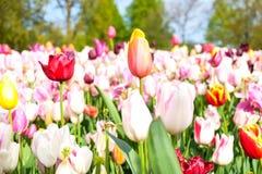 Tulips coloridos fotografia de stock