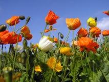 Tulips coloridos. Fotografia de Stock