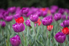 Tulips coloridos Fotografia de Stock Royalty Free