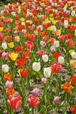 Tulips coloridos Imagem de Stock Royalty Free