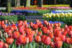 Tulips coloridos Fotografia de Stock Royalty Free