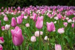Tulips coloridos Foto de Stock Royalty Free