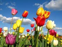 Tulips coloridos em um campo fotos de stock