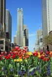 Tulips coloridos na flor na avenida de Michigan de Chicago imagens de stock royalty free