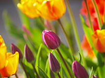 Tulips Colors. Purple tulips with red and yellow ones at the sides in a home garden in the springtime Stock Photography