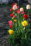 Tulips colors Stock Photo