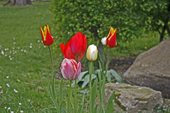 Tulips. Colourful blooming tulips in springtime Stock Photos