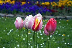 Tulips. Colourful blooming tulips in springtime Stock Photo