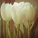 Tulips com textura II fotografia de stock