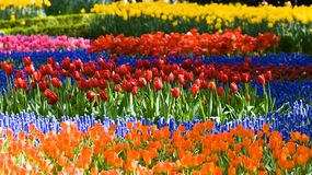Tulips and common grape hyacinth. Colorful tulips and common grape hyacinth in spring Stock Image