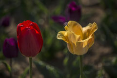 Tulips- Contrast bright. Plant  flower  Tulips  nature  spring  park  color  scenery  gardening  herb Royalty Free Stock Images