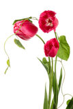 Tulips and convolvulus Stock Image