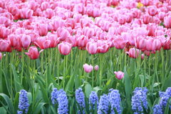 Tulips cor-de-rosa Fotografia de Stock