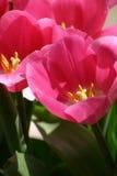 Tulips cor-de-rosa imagem de stock