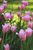 Tulips cor-de-rosa imagens de stock