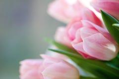 Tulips cor-de-rosa da flor Imagem de Stock Royalty Free
