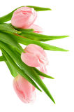 Tulips cor-de-rosa da mola Fotografia de Stock Royalty Free
