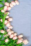 Tulips cor-de-rosa da mola Fotos de Stock Royalty Free