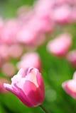 Tulips cor-de-rosa delicados em um campo de flor Imagem de Stock Royalty Free