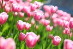 Tulips cor-de-rosa delicados em um campo de flor, Foto de Stock Royalty Free