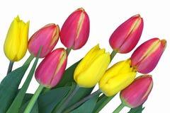 Tulips cor-de-rosa e amarelos Imagem de Stock
