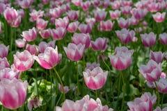 Tulips cor-de-rosa e brancos fotos de stock