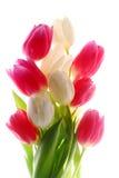 Tulips cor-de-rosa e brancos Fotografia de Stock