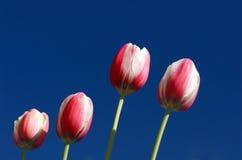 Tulips cor-de-rosa e brancos de encontro ao céu azul profundo Imagem de Stock
