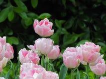 Tulips cor-de-rosa e brancos fotografia de stock royalty free