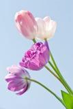 Tulips cor-de-rosa e roxos Imagem de Stock Royalty Free