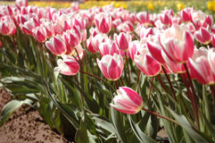 Tulips cor-de-rosa na floresta WA Foto de Stock Royalty Free