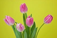 Tulips cor-de-rosa no fundo amarelo Imagem de Stock Royalty Free