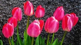 Tulips cor-de-rosa no fundo preto foto de stock royalty free