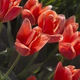 Tulips cor-de-rosa no parque Fotos de Stock Royalty Free