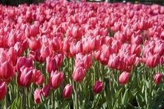 Tulips cor-de-rosa - o tempo de mola está aqui Imagens de Stock Royalty Free