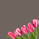Tulips in a corner of the card. Realistic vector tulips on brown background. Crimson and white spring flowers. Ready template for greeting cards Royalty Free Stock Photo
