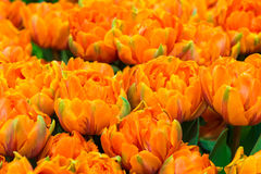 Tulips. Countless tulips Slowly open, likable stock image