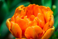 Tulips. Countless tulips Slowly open, likable stock images