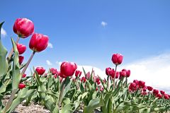 Tulips in the countryside Stock Photo