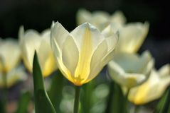 Tulips. Cream colored tulips blooming in the Spring Royalty Free Stock Photo
