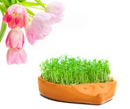 Tulips, cress Royalty Free Stock Photography