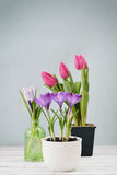 Tulips and crocus Stock Image