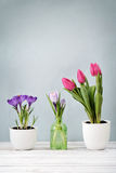 Tulips and crocus. In vases on blue background Royalty Free Stock Image