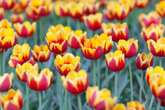 Tulips cultivar Laura Fygi Stock Photography