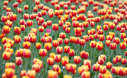 Tulips cultivar Laura Fygi Royalty Free Stock Photo