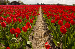 Tulips Culture Royalty Free Stock Image