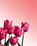 Tulips da alfazema Fotografia de Stock Royalty Free