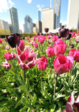 Tulips da cidade Foto de Stock Royalty Free