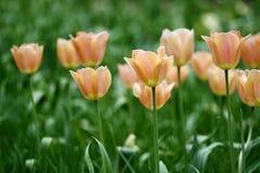 Tulips da cor de Champagne Fotos de Stock Royalty Free